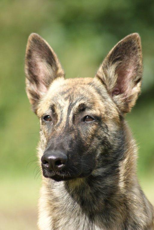 Dream dog -- Dutch shepard female -- It's the ears.
