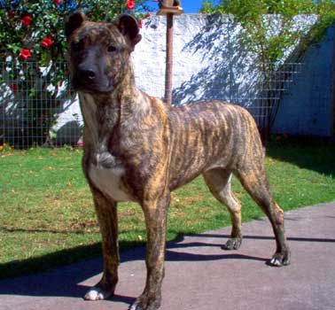 Cimarron Uruguayo This breed has many names. The Perro Cimarron Uruguayo, Uruguayan Cimarron, Cimarron Creole, Maroon Dog, Cerro Largo Dog, Perro Cimarron, Cimarron Dog, and often simply the Cimarron. This Molossian breed was brought over to 17th century Uruguay by Spanish Traders. It became a fighting, hunting, and guard dog, and even today maintains its popularity as a guard and companion dog. http://voices.yahoo.com/all-breed-cimarron-uruguayo-2787169.html