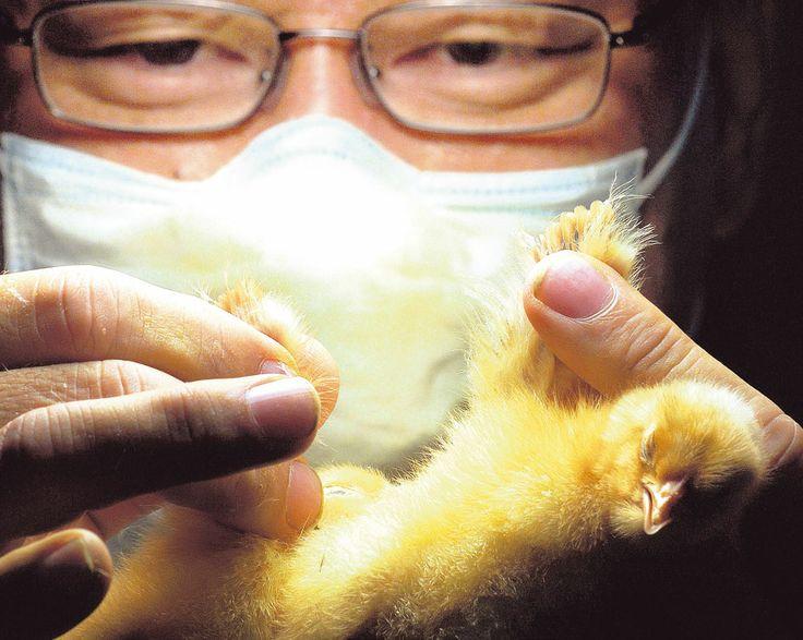 Sexador de pollos: Trata de separar machos de hembras pollitos a una velocidad sorprendente.