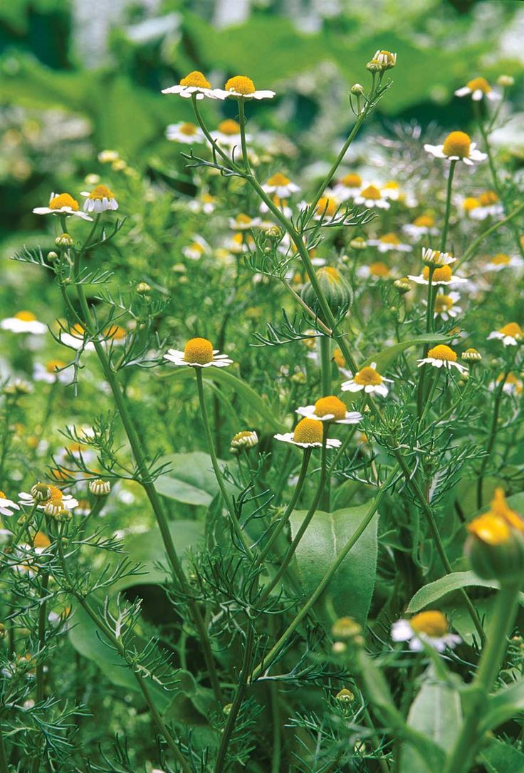 Growing a Medicinal Herb Garden---Discover five plants and learn how to use them in your medicine cabinet.