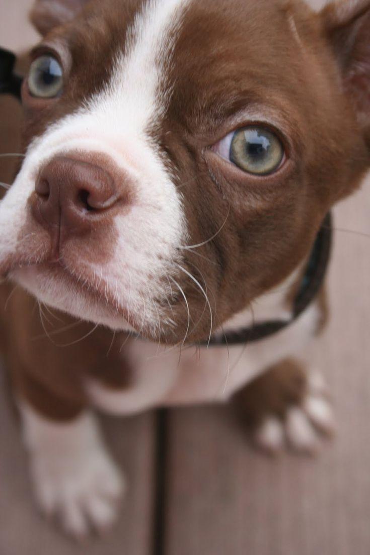 Boston Terrier Puppy Photos