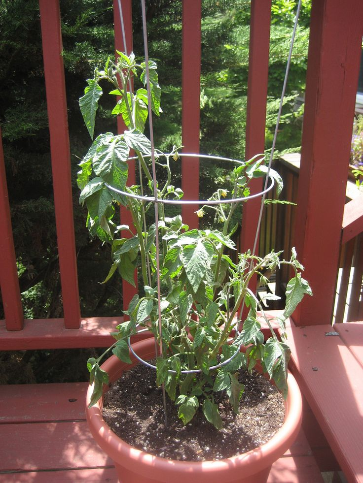 Best 25 growing tomatoes in containers ideas on pinterest growing vegetables in pots - Best tomato plants for container gardening ...