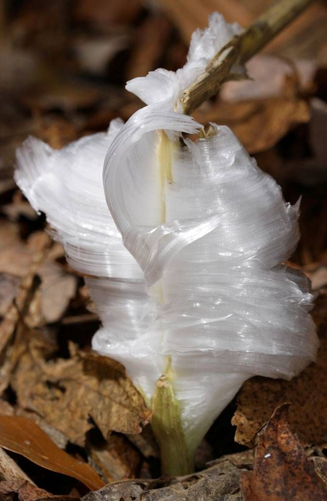 It is as beautiful as it is rare. A frost flower is created on autumn or early winter mornings when ice in extremely thin layers is pushed out from the stems of plants or occasionally wood. This extrusion creates wonderful patterns which curl and fold into gorgeous frozen petioles giving this phenomenon both its name and its appearance.