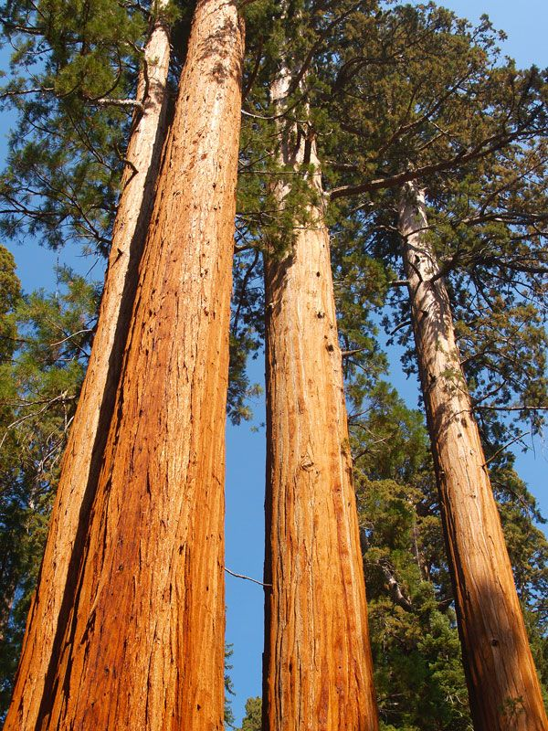 Giant sequoias Yosemite National ParkSequoia National Park