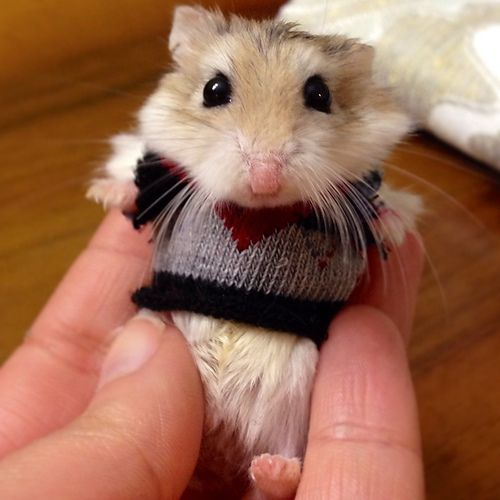Hamster in a teeny knitted sweater <3