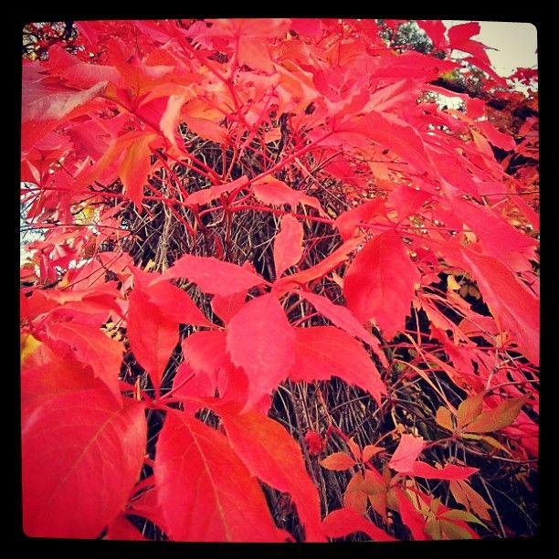 #ruska #profondorosso #rosso #autumn  #leaf  #leaves #punaiset #lehdet