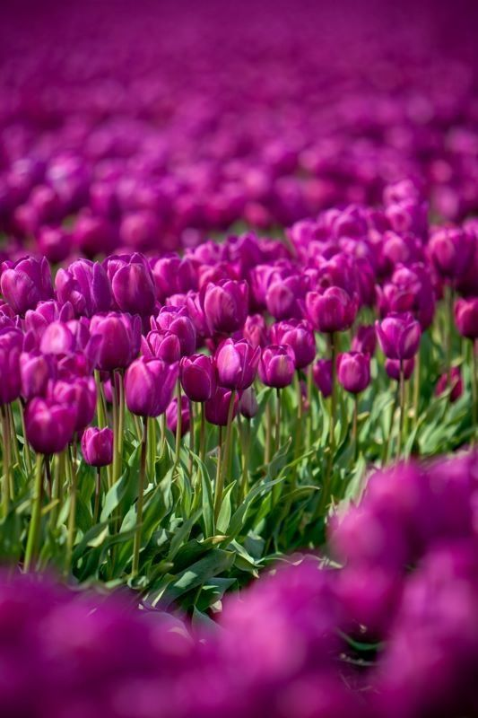 Beautiful: Tulip Fields, Flowers Fields, Natural Photography, Shades Of Purple, The Colors Purple, Purple Tulips, Beautiful, Gardens, Pink Tulip