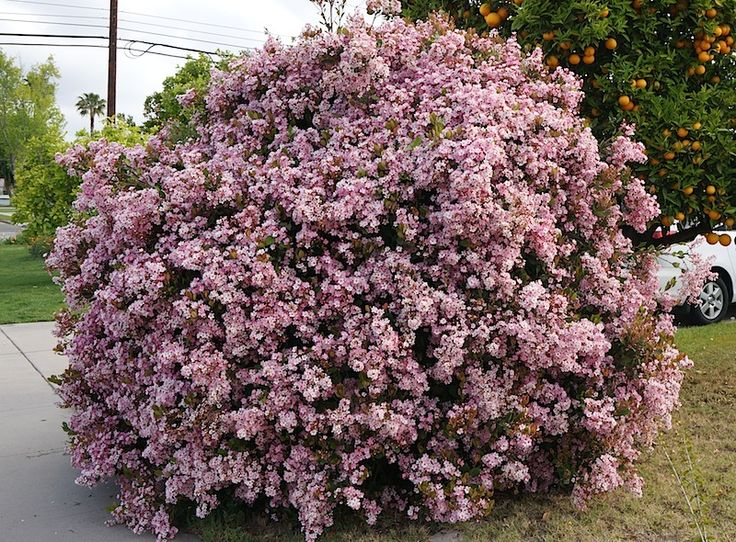 Indian Hawthorn Or India Hawthorn Rhaphiolepis Indica Is