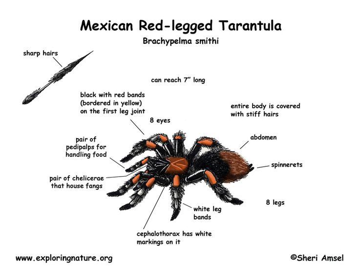 http://www.exploringnature.org/graphics/arthropods/spider