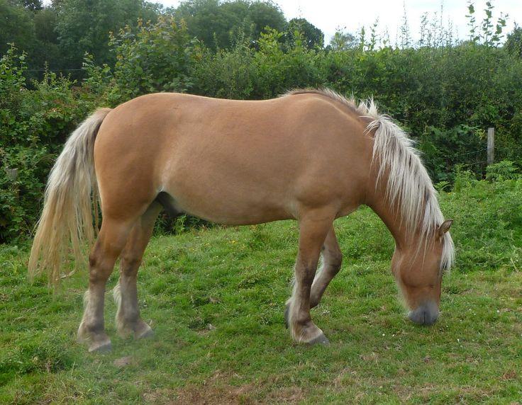 Brownbread Highland Ponies - Highlands for Sale - Brownbread Marmalade