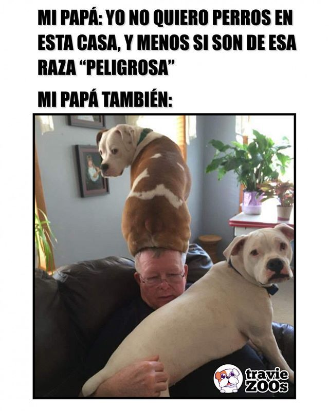 Ahora Mi Papa Es Un Amante De Los Pitbull Perros Pitbull Dogs Pit Funny Dad Papa Memes Perros Perros Memes De Perros Chistosos