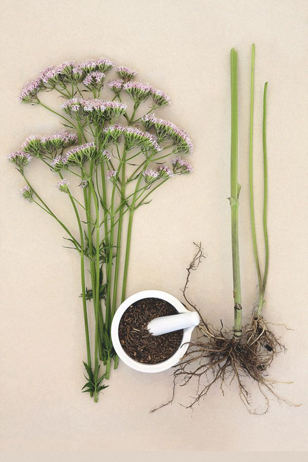Valerian Root Dosage for Anxiety and Sleep
