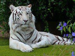 Witte Bengaalse Tijger, Tiger, Roofdier