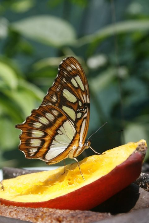 Butterfly sanctuary, Copan Ruinas