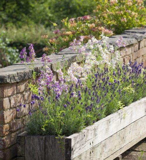 Lavender 'Hidcote'