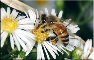 The mysterious disappearance of bees, called Colony Collapse Disorder (CCD), is a growing threat to Honey Bees, the mainstay of pollination services in agriculture