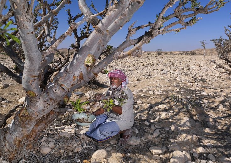 Mister Musallem, from Gedad tribe, collecting frankincense, Oman   Flickr - Photo Sharing!