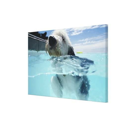 ==> reviews          Dog Swimming in a Swimming Pool Stretched Canvas Prints           Dog Swimming in a Swimming Pool Stretched Canvas Prints we are given they also recommend where is the best to buyDeals          Dog Swimming in a Swimming Pool Stretched Canvas Prints Online Secure Check ...Cleck Hot Deals >>> http://www.zazzle.com/dog_swimming_in_a_swimming_pool_canvas-192663624624316795?rf=238627982471231924&zbar=1&tc=terrest