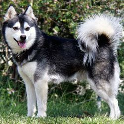 The Alaskan Klee Kai is a spitz type breed of dog, developed in the 1970s to create a companion sized dog resembling the Alaskan Husky. The breed was developed with Siberian and Alaskan Huskies using Schipperke and American Eskimo Dog to bring down the size without dwarfism. The Alaskan Klee Kai should look like a miniature husky (though it closely resembles the Siberian). They come in three sizes. Standard, Miniature, and Toy. Pinned from en.wikipedia.org
