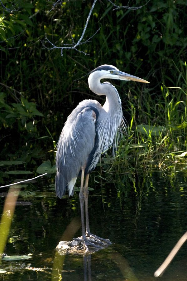 Great Blue Heron - Everglades National Park - we used to see these when we went down there - beautiful!