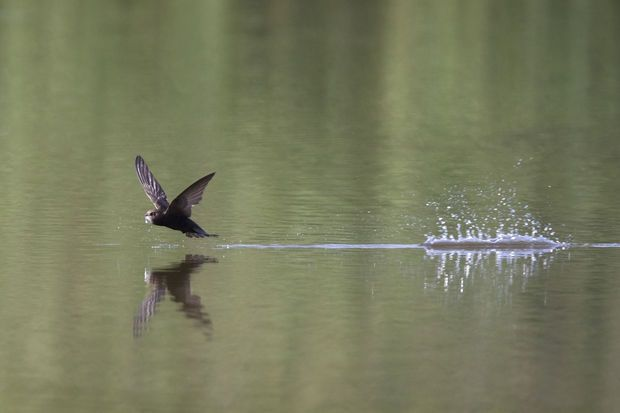 Record : le martinet noir est capable de voler 10 mois non-stop