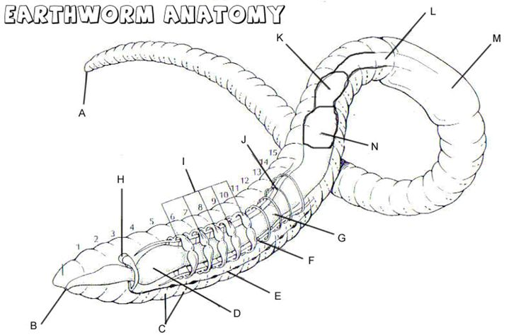 earthworm anatomy labeling