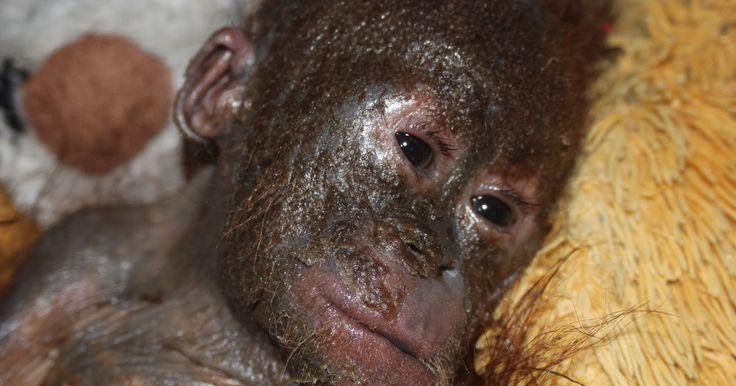 Rampant habitat destruction fuels the illegal pet trade.