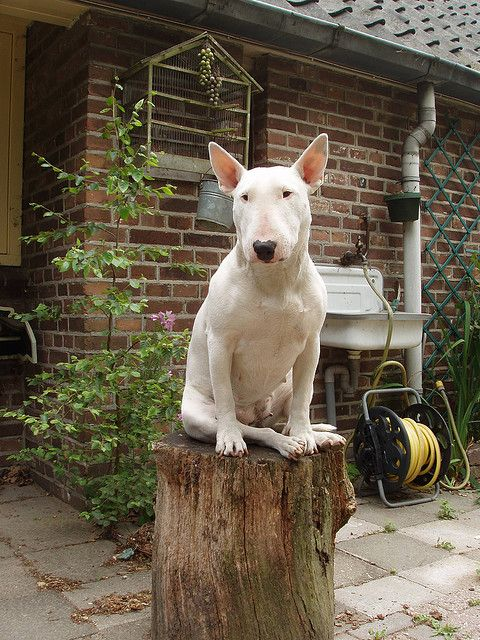 ..English Bull Terrier..   ___ Click the Link in my Bio <@jurale13> and what you will find there use it as a Gift.