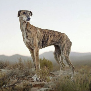 Africanis dog, Sneeuberg Pass, Murraysburg district, South Africa, 2/2/2009 art for sale. daniel naude
