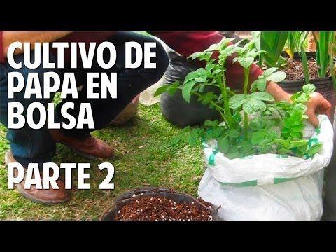 Cómo cultivar papa en el balcón - Parte 2 - Te quedan dudas? @cosasdelja...