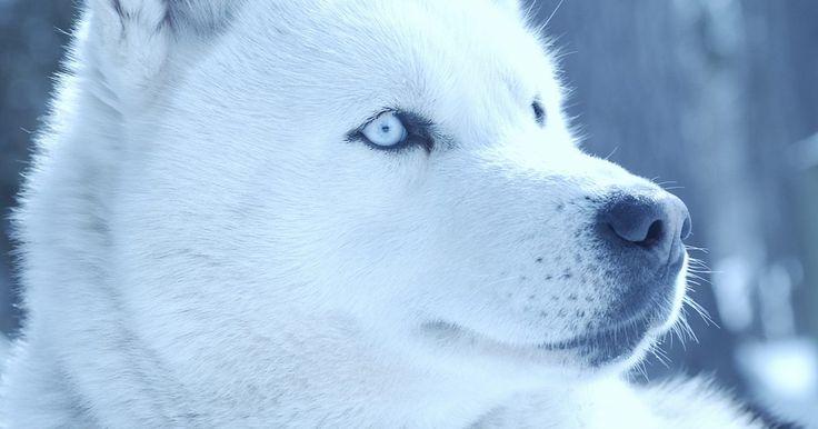 Um husky siberiano com doença inflamatória intestinal canina e hérnia hiatal. Os husky siberianos são cães gentis e amáveis que geralmente vivem cerca de 12 a 15 anos. Apesar de ser uma raça tipicamente saudável, eles são suscetíveis a doenças dos olhos, distúrbios convulsivos, lúpus, displasia do quadril e dermatite responsiva ao zinco. Infelizmente, eles, como outras raças, também estão contraindo outros problemas de ...