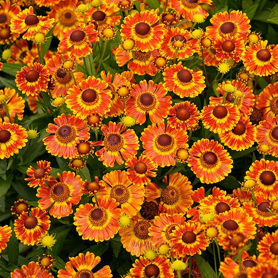 Name: Helenium 'Mariachi Fuego' Growing Conditions: Full sun Size: 18–20 inches tall, 20–24 inches wide Zones: 3–9