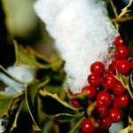solstice menu ideasWinter Berries, Evergreen Shrubs, Christmas Recipe, Berries Bush, Choo Shrubs, Holly Berries, Berries Thumbnail, Holly Shrubs, Inkberri Plants