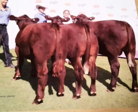 2015 red poll stan hill team at Sydney Royal. Two steers on the left are bred by Belault red polls.