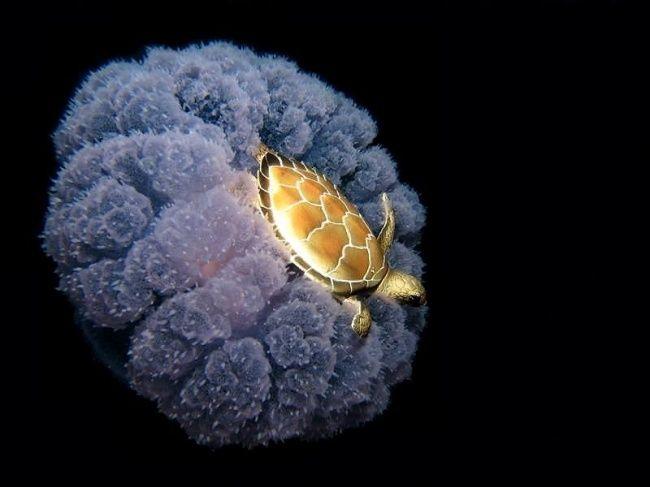 23 фотографии, в которые трудно поверить Морская черепаха передвигается с помощью медузы