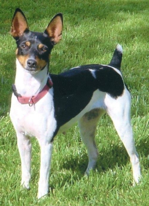 Google Image Result for http://www.rock-e-hillratterriers.com/assets/images/Pennie.jpg