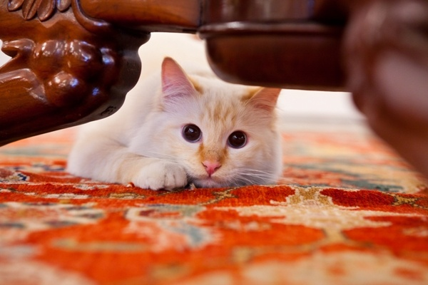 Fa-raon at Hotel Le Bristol, Paris - the elusive resident feline!
