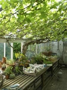 Grapevines grow anywhere there's sufficient light, warmth and water.