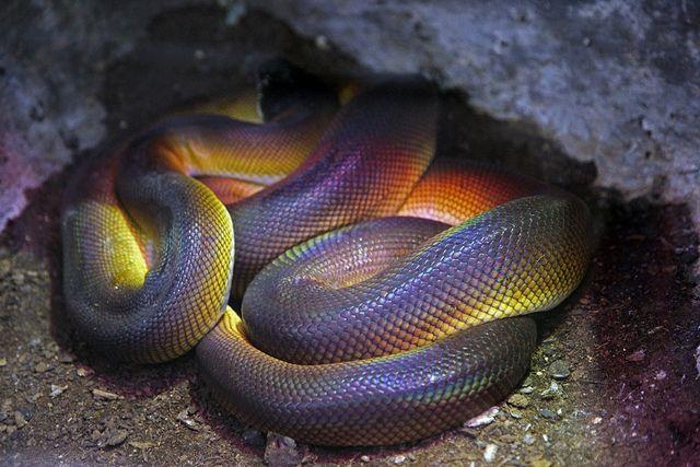 beautiful rainbow snake