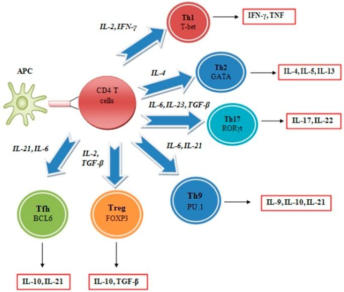 lymphatic system and antigen presenting cells Dendritic cells (dcs) are the most potent of the ag-presenting cells and are  central to the initiation of t-cell immune responses  dcs were sorted using the  automacs system before being pelleted and resuspended in lysis.