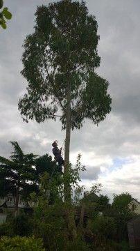 Climbing a Eucalyptus near Gidea Park, Essex http://modernmint.co.uk/tree-surgery-essex/