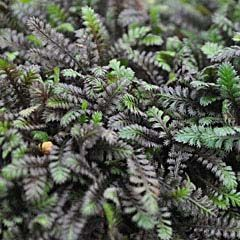 Leptinella squalida, Platt's Black 'Brass Buttons'....another sweet little plant for Fairy Garden that grows 1 - 2 inches tall and spreads 10 - 12 inches. Will take some foot traffic in full sun to partial shade. Maybe for along edges of Mosaic Path!  ZONE 4-5