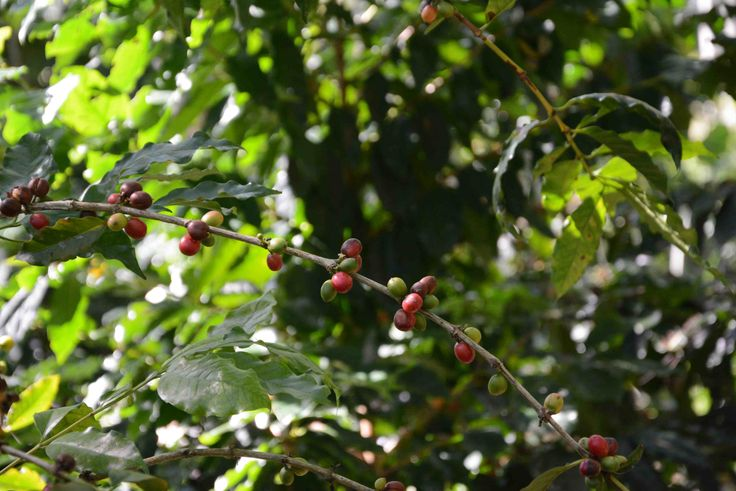 Coffee Beans growing at Belcampo