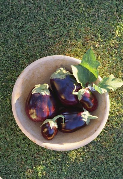 Propagation of Eggplant Plants