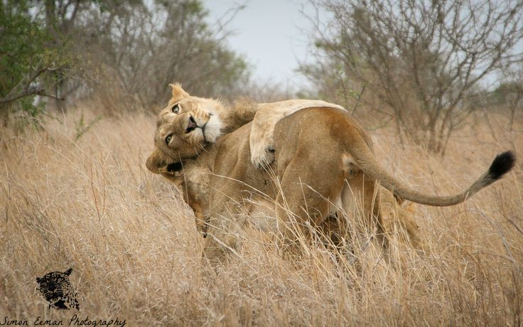 I was driving in Kruger when suddenly a group of 5 lions appeared in front of me. I was the only car. They were 4 subadult males and an adult female. I watched them sleep for a while but then they got up and started playing together! I caught this shot of the female playing with one of the young males.  Also did you know a group of male lions that team up together is called a coalition.  #lion #africa #big5 #wildlife #wildlifephotography #nature #conservation #kruger