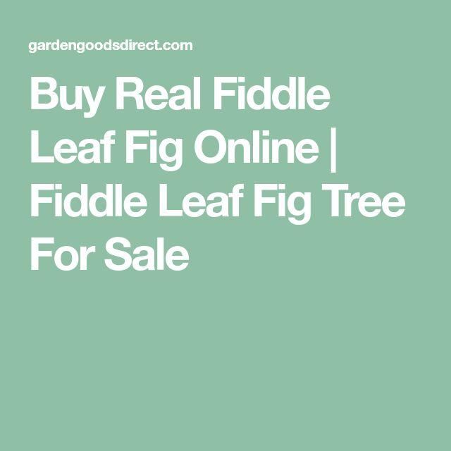 Buy Real Fiddle Leaf Fig Online | Fiddle Leaf Fig Tree For Sale