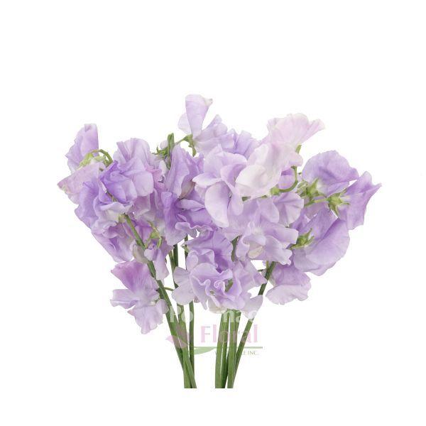 Sweet Peas Lavender Lathyrus Potomac Floral Wholesale Purple Flowers Sweet Pea Sweet Pea Flowers