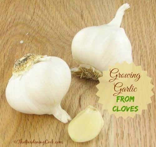 Growing Garlic from a Single Clove - The Gardening Cook