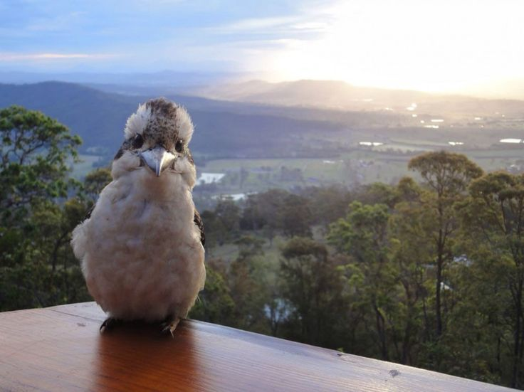This kookaburra because he really just wants to make you feel welcome. (Cute Australian animals)