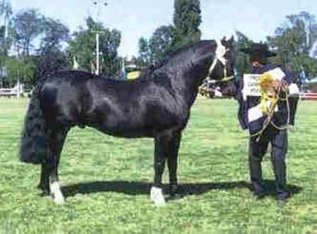 Chilean horse purebred- Caballo Chileno de pura raza record since 1893. TE TE por Aguacerito.